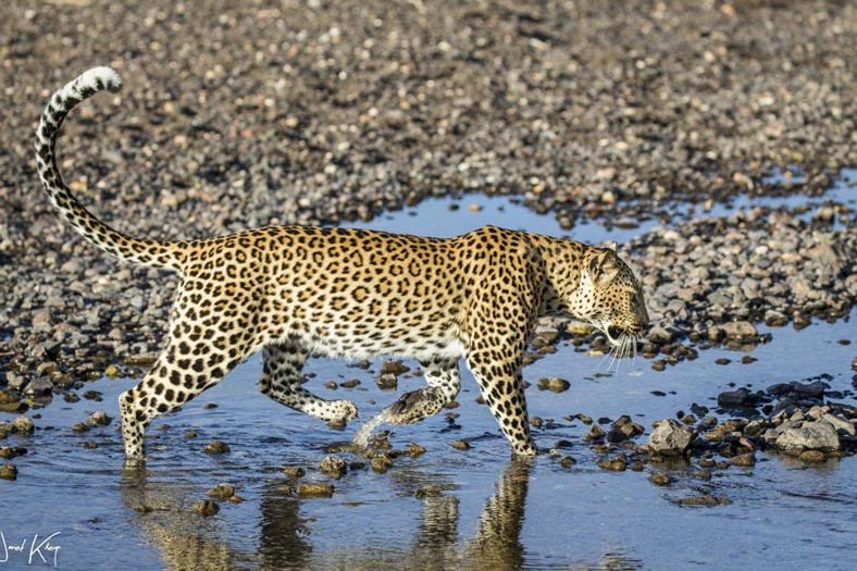 Leopard in river - Mashatu Game Reserve
