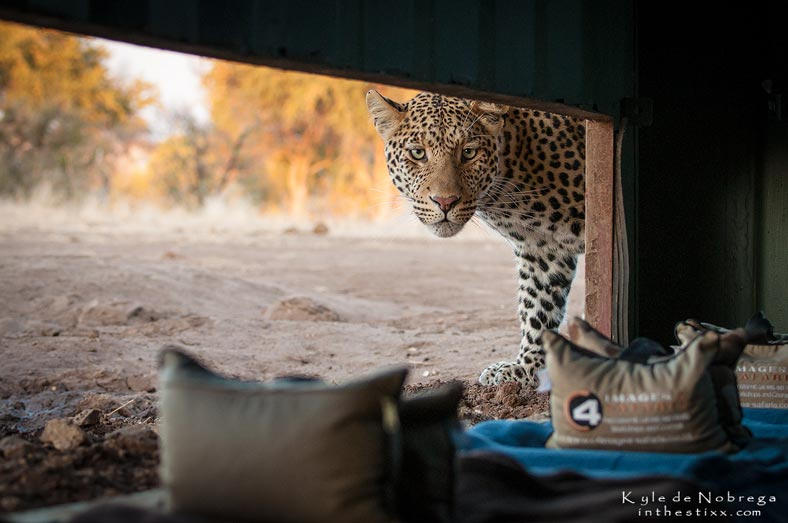 Leopard at hide - Mashatu Game Reserve